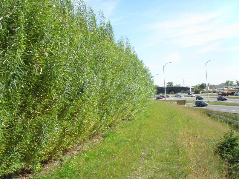 Salix viminalis vert f ret vente en gros d 39 arbres et d - Haie brise vue croissance rapide ...