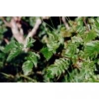 Sorbus décora