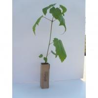 Semis 2 ans, hauteur 25-40 cm