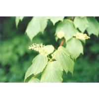 Acer spicatum